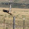 Departing Red-tailed Hawk