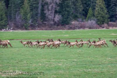 A heard of elf running through a meadow