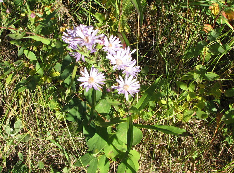 Asters  - Upper Mesa Falls - Ashton, ID  9-4-05