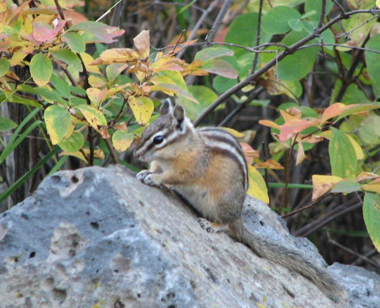 Chipmunk Along Trail  - Upper Mesa Falls - Ashton, ID  9-4-05