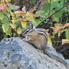 Chipmunk Along Trail  - Upper Mesa Falls - Ashton, ID  9-4-05