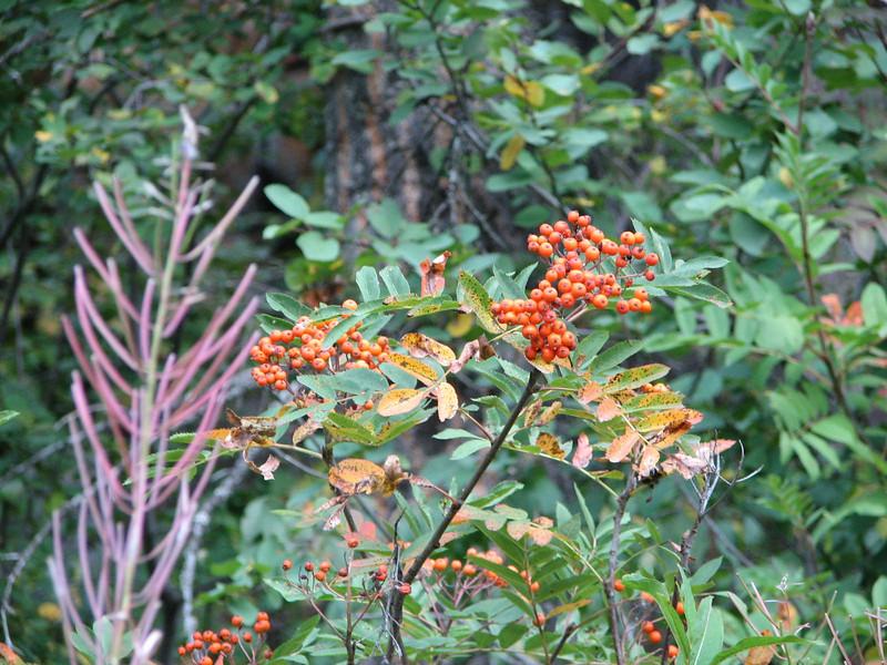 Fall Foilage  - Upper Mesa Falls - Ashton, ID  9-4-05