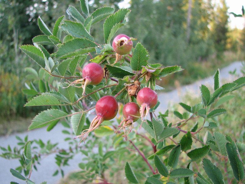 Rosehips  - Upper Mesa Falls - Ashton, ID  9-4-05