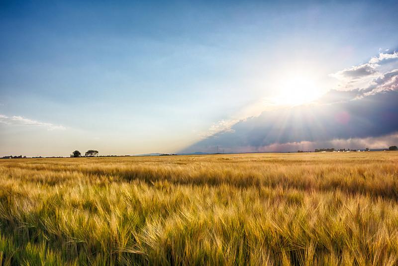 Idaho wheat fields