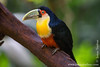 Green-billed Toucan aka Red-breasted Toucan