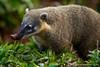 South American Coati