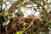 South American Coati In Its Nest