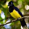 Plush Crested Jay Bird