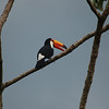 A toucan hanging out at Iguazu Falls.