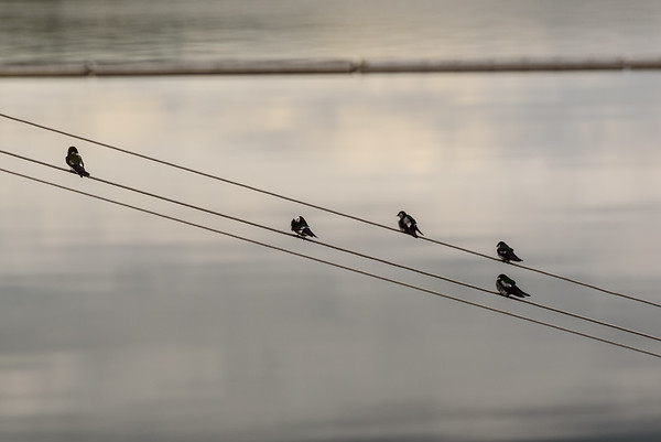 Birds on a wire @ Mossyrock Dam