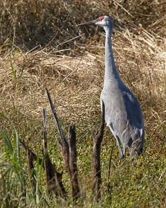 Sandhill crane, Volo Bog, Illinois