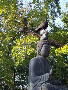 Bhuddist Pigeon