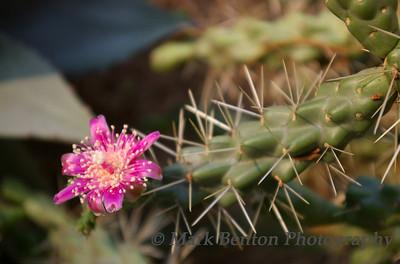 Cactus Blooms!