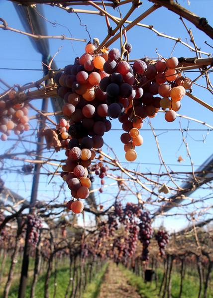 Grapes Ripe for the Picking in Mendoza