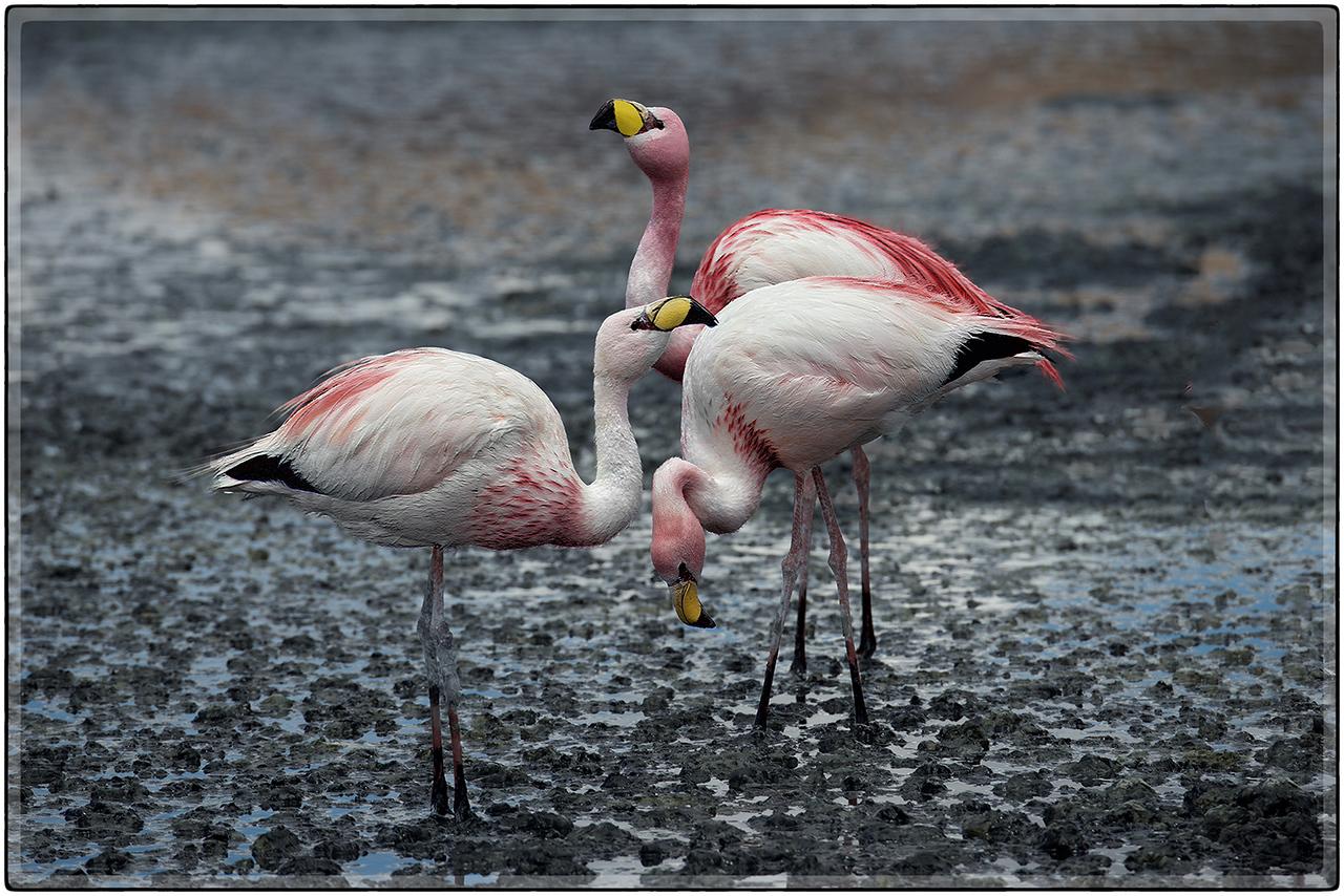 Flamingos en Laguna Canapa
