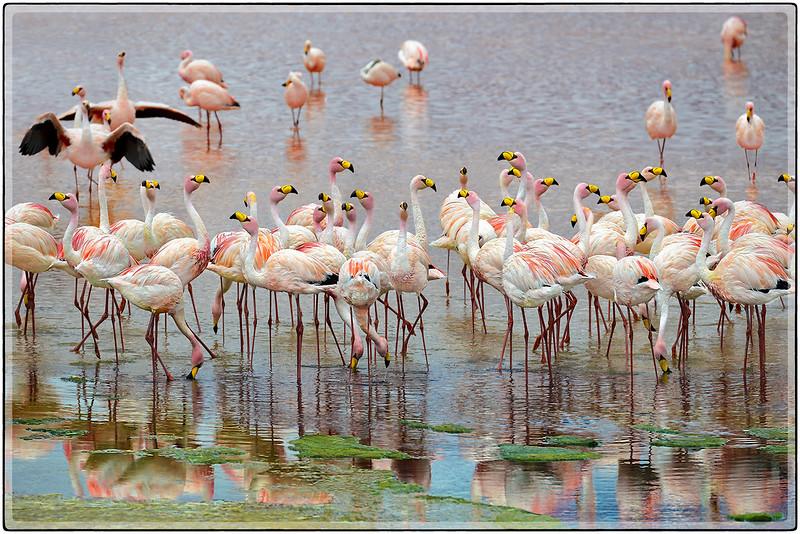 Flamingos en Laguna Colorada
