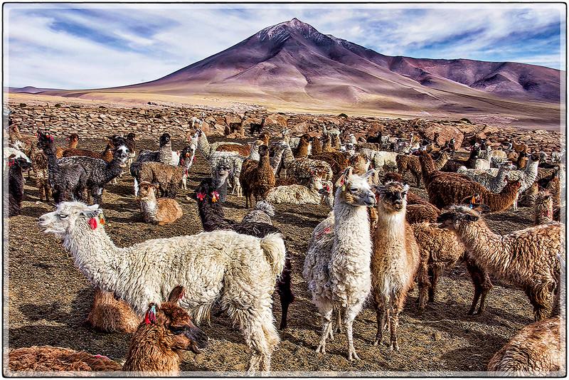 Lamas del Desierto Silali