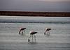 Chilean Pelicans
