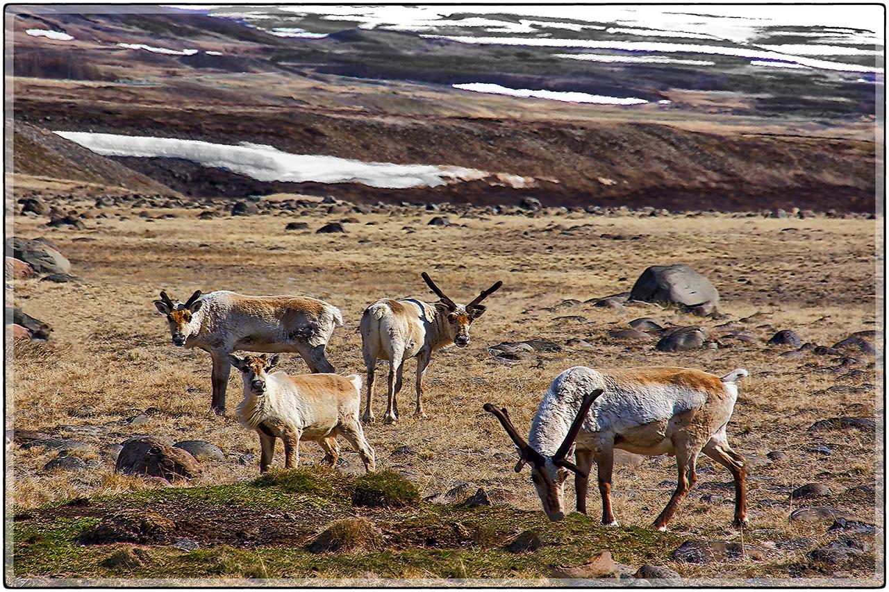 Icelamic Elk