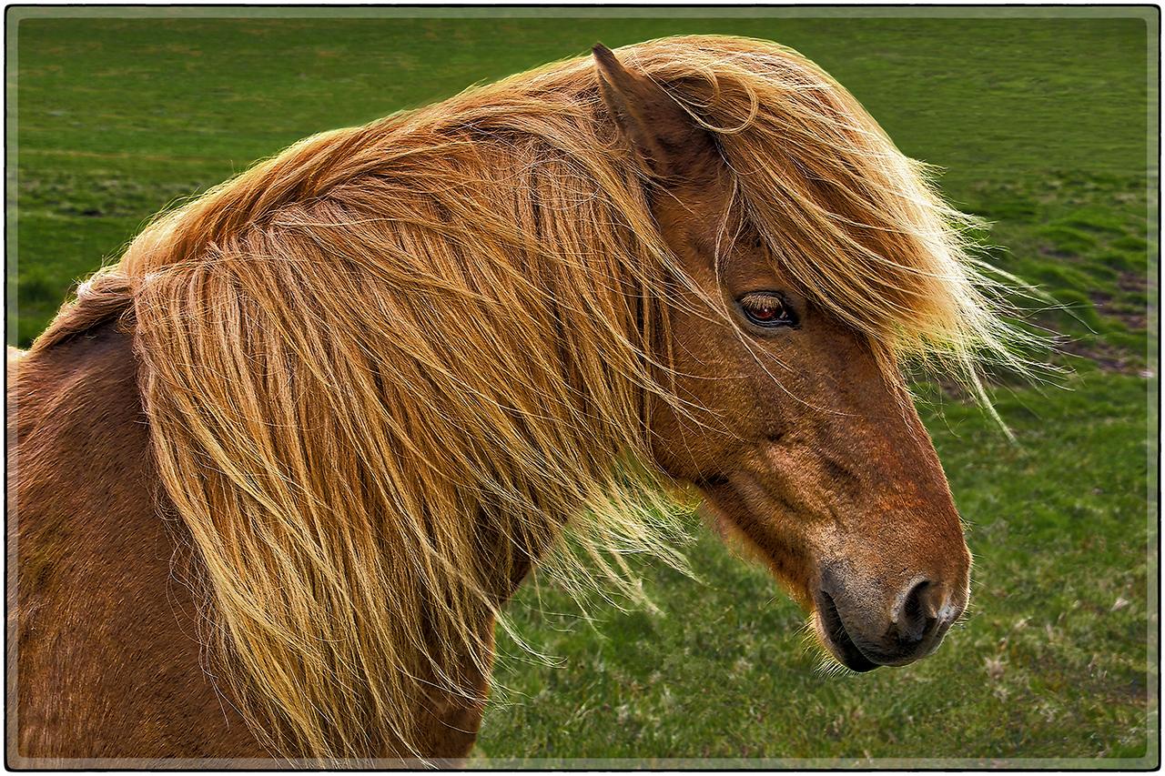 Icelamic Horse