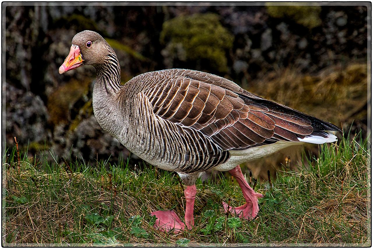 Icelamic Goose