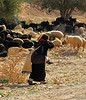 Local Bedouin Carries Her Child While Herding Sheep