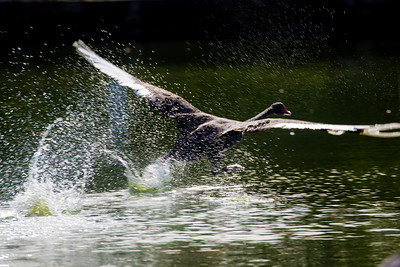 Black Swan takes flight from the water.