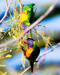 Two Lorikeets playing with one another.