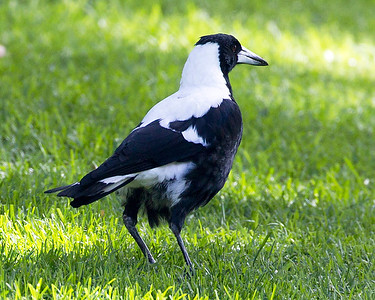 Australian Magpie.   (Bigger than the Magpie Lark.)