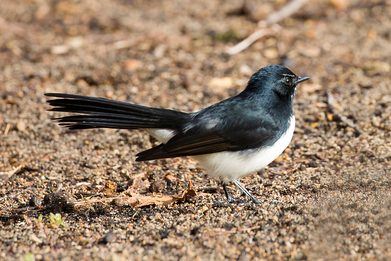 This little guy is called a Willie Wagtail.