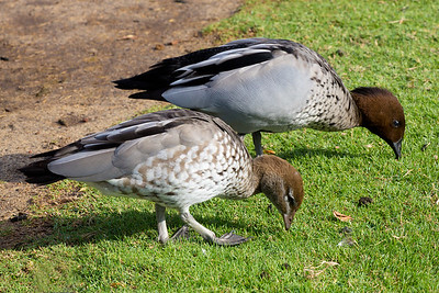 Male and female Australian Wood Ducks.