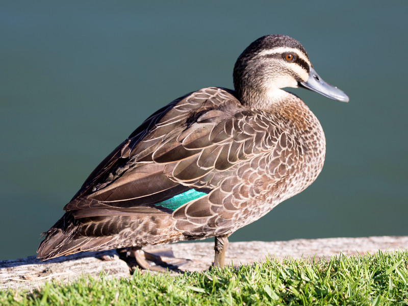 Queens Garden teems with birds -- like this Pacific Black Duck.