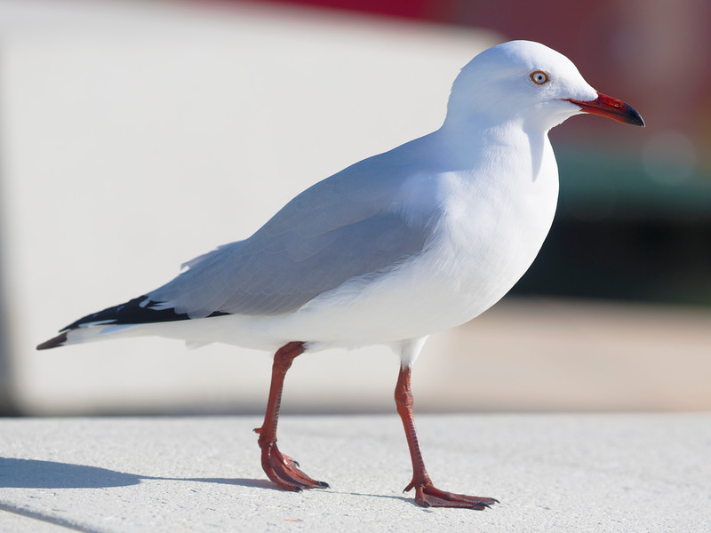 Silver Gull near the Ferry slip.