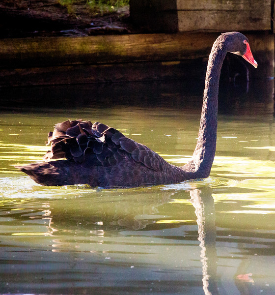 Black Swan gliding the water.