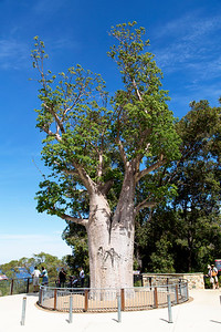 900-year old Boab Tree transplanted into the Park.