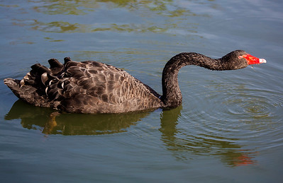 What a beautiful neck you have, Black Swan!