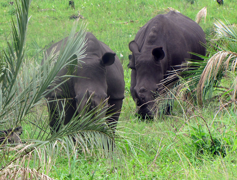 Rhinocerous in Wetlands by St. Lucia