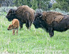 Bison with a calf in the Lamar Valley of Yellowstone; best viewed in the largest sizes