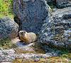 A marmot on the Lake Overlook Trail above West Thumb in Yellowstone National Park in Wyoming; best viewed in the largest sizes