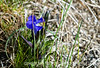 A fringed gentian photographed In Yellowstone National Park on June 14...not far from Old Faithful.