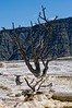A dead tree is embedded in travertine at Mammoth Hot Springs in Yellowstone National Park, Wyoming; best viewed in the larger sizes