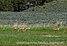 Pronghorn antelope in Yellowstone National Park in Wyoming