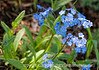 Wild forget-me-nots in Yellowstone National Park in Wyoming