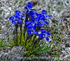 Fringed gentians blooming not far from some active geysers in Yellowstone National Park, the Upper Geyser Basin trail.