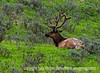 A bull elk relaxing in Yellowstone's Lamar Valley; best viewed in the largest sizes