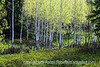 Aspen trees in the spring in the Grand Teton National Park in Wyoming
