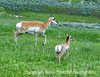 A mother pronghorn antelope and her baby start to run.  Photographed in the Lamar Valley of Yellowstone National Park in Wyoming.  Best viewed in the largest sizes