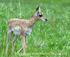 A baby pronghorn antelope in the Lamar Valley in Yellowstone National Park in Wyoming; best viewed in the largest sizes.  Mom was nearby.