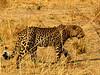 Leopard Prowl