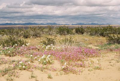 2/19/05 Desert Sand Verbena (Abronia villosa). Roadside, north of Hwy 78, west of Imperial Sand Dunes Recreation Area (N. Algodones Dunes)